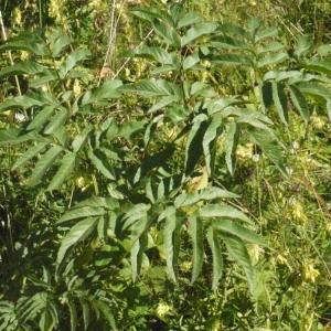 Photographie n°183093 du taxon Angelica sylvestris L. [1753]
