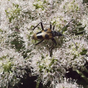 Photographie n°183098 du taxon Angelica sylvestris L. [1753]