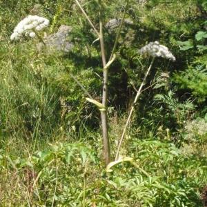 Photographie n°183099 du taxon Angelica sylvestris L. [1753]