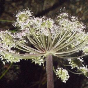 Photographie n°183100 du taxon Angelica sylvestris L. [1753]