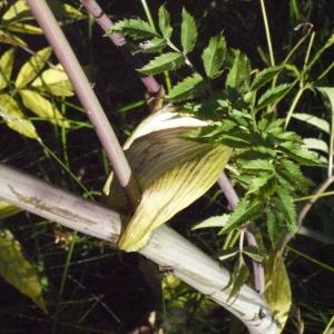 Photographie n°183102 du taxon Angelica sylvestris L. [1753]