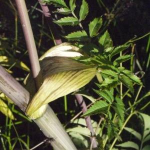 Photographie n°183103 du taxon Angelica sylvestris L. [1753]