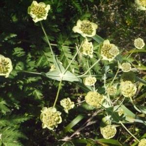 Photographie n°183114 du taxon Bupleurum stellatum L. [1753]