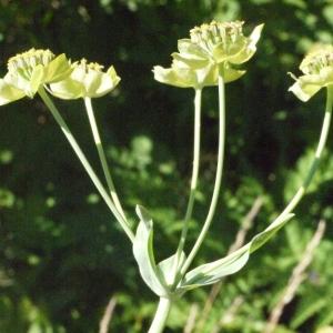 Photographie n°183115 du taxon Bupleurum stellatum L. [1753]