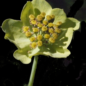 Bupleurum stellatum L. (Buplèvre étoilé)