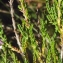 Liliane Roubaudi - Calluna vulgaris (L.) Hull