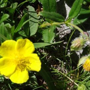 - Helianthemum grandiflorum subsp. grandiflorum