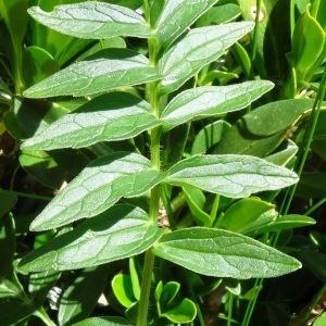- Valeriana officinalis subsp. tenuifolia (Vahl) Schübler & G.Martens [1834]