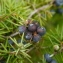 Jean-Joseph OSTY - Juniperus communis L. [1753]