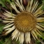 Jean-Joseph OSTY - Carlina acanthifolia All.