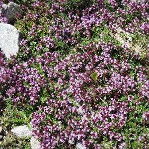 Thymus alpestris Tausch ex A.Kern. (Thym alpestre)