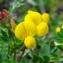 - Lotus alpinus (DC.) Schleich. ex Ramond