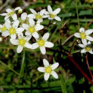 Photographie n°183328 du taxon Saxifraga paniculata subsp. paniculata