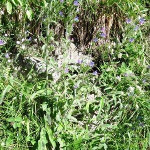 Photographie n°183335 du taxon Echium vulgare var. vulgare