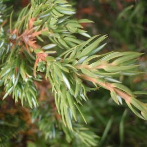 Juniperus communis subsp. nana (Hook.) Syme (Genévrier des Alpes)