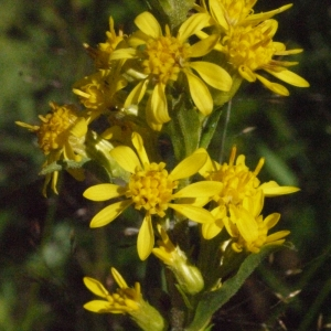 Solidago virgaurea L. (Solidage verge-d'or)