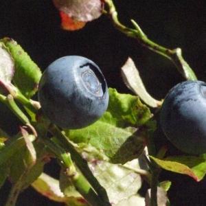 Photographie n°183439 du taxon Vaccinium myrtillus L.