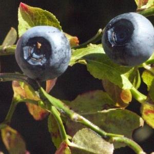 Photographie n°183442 du taxon Vaccinium myrtillus L.