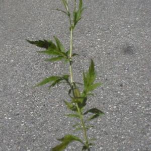 Photographie n°183452 du taxon Achillea macrophylla L. [1753]