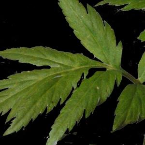 Photographie n°183454 du taxon Achillea macrophylla L. [1753]