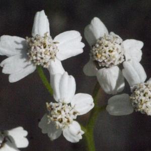 Achillea macrophylla L. (Achillée à grandes feuilles)