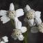 Liliane Roubaudi - Achillea macrophylla L. [1753]