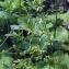 Liliane Roubaudi - Aconitum lycoctonum subsp. vulparia (Rchb.) Nyman [1889]