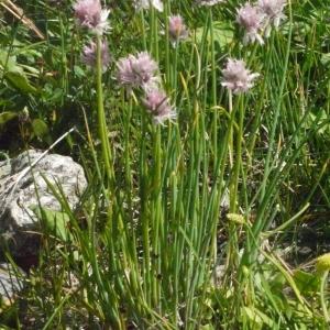 Photographie n°183468 du taxon Allium schoenoprasum L.