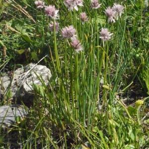 Photographie n°183469 du taxon Allium schoenoprasum L.