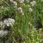 Liliane Roubaudi - Allium schoenoprasum L.