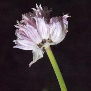 Photographie n°183470 du taxon Allium schoenoprasum L.