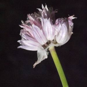 Photographie n°183471 du taxon Allium schoenoprasum L.