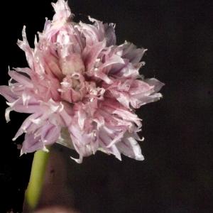 Photographie n°183472 du taxon Allium schoenoprasum L.