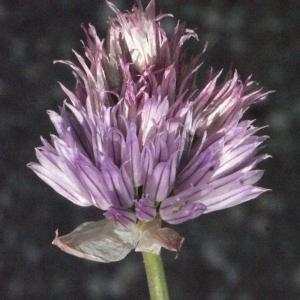 Photographie n°183474 du taxon Allium schoenoprasum L.
