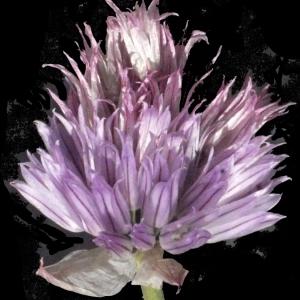 Photographie n°183475 du taxon Allium schoenoprasum L.