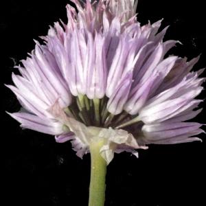 Photographie n°183476 du taxon Allium schoenoprasum L.