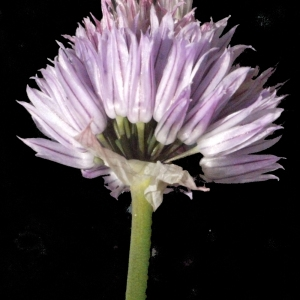 Photographie n°183477 du taxon Allium schoenoprasum L.