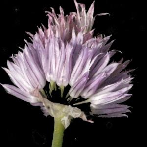 Photographie n°183478 du taxon Allium schoenoprasum L.