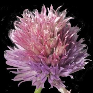 Photographie n°183479 du taxon Allium schoenoprasum L.