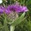Liliane Roubaudi - Centaurea uniflora Turra