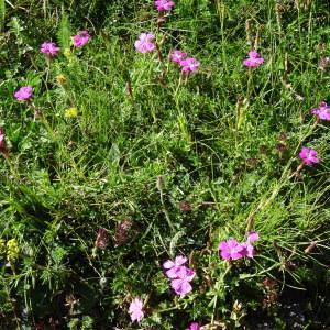 Photographie n°183518 du taxon Dianthus seguieri subsp. peudocollinus (P.Fourn.) Jauzein