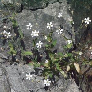 Photographie n°183583 du taxon Silene rupestris L.