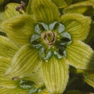 Photographie n°183596 du taxon Veratrum album L.