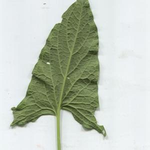 Photographie n°183603 du taxon Chenopodium bonus-henricus L. [1753]
