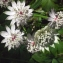 Liliane Roubaudi - Astrantia major L.