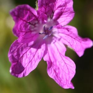 Erodium manescavii Coss. (Bec-de-grue de Manescaut)