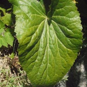 Photographie n°183679 du taxon Eryngium alpinum L. [1753]