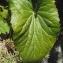 Liliane Roubaudi - Eryngium alpinum L. [1753]