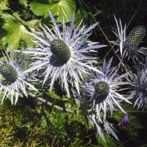 Photographie n°183684 du taxon Eryngium alpinum L. [1753]