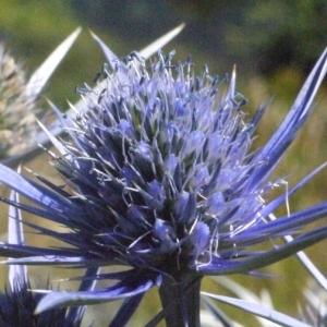 Eryngium bourgatii var. pyranaicum Lange (Panicaut de Bourgat)